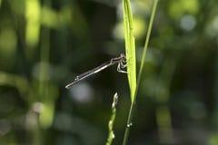 Libelle auf einer Blattmakronahaufnahme Stockfotografie