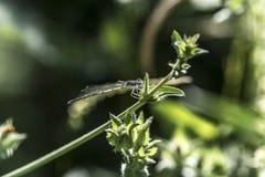 Libelle auf einer Blattmakronahaufnahme Stockbild