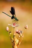 Libelle auf einer Blume Stockbilder