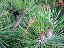 Libelle auf einer grünen Kiefernniederlassung Lizenzfreie Stockbilder