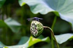 Libelle auf einer Lotoshülse stockbild