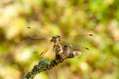 Libelle auf einer Niederlassung im Garten Stockfotos
