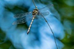 Libelle auf einer Rebe lizenzfreies stockbild