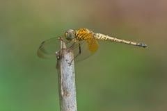 Libelle auf einer Stange Stockbilder
