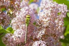 Libelle auf Flieder lizenzfreies stockbild