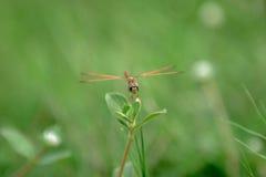 Libelle auf Gras Lizenzfreie Stockfotos