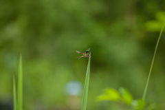 Libelle auf Gras Lizenzfreies Stockbild