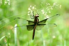 Libelle auf Gras Stockfotos