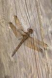 Libelle auf Holz Lizenzfreie Stockfotos