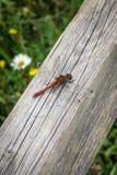 Libelle auf Holzbalken 2 Stockfotos