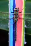 Libelle auf Kerze lizenzfreie stockfotografie