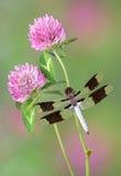 Libelle auf Klee Stockfotos