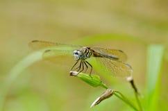Libelle auf Löwenzahn Stockfoto