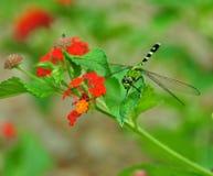 Libelle auf Lantana-Blüte Stockbild