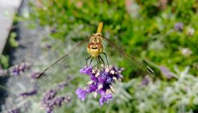 Libelle auf Lavendel Stockfotografie
