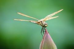 Libelle auf Lotosknospe Stockfotos