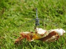 Libelle auf Nahaufnahme des grünen Grases, Sri Lanka lizenzfreies stockfoto