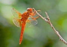 Libelle auf Niederlassung Lizenzfreies Stockbild