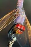 Libelle auf Niederlassung Stockfotos