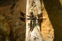 Libelle auf Niederlassung Stockfoto