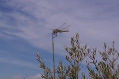 Libelle auf Olivenbaum, Berg Hymettos, Griechenland Lizenzfreies Stockfoto