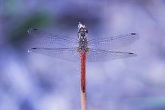Libelle auf purpurrotem Hintergrund Lizenzfreie Stockfotografie