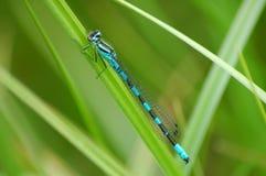 Libelle auf Rest Lizenzfreies Stockfoto