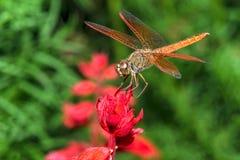Libelle auf roter Blumennahaufnahme Stockbilder