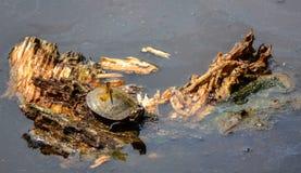 Libelle auf Schildkröte Lizenzfreie Stockfotos