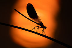 Libelle auf Sonnenuntergang stockbild
