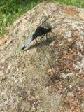 Libelle auf Stein Stockbilder