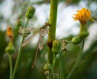 Libelle auf Stiel Stockfotos
