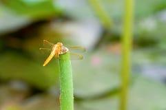 Libelle auf Stiel Lizenzfreies Stockfoto