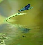 Libelle auf Stiel des Grases. Stockfoto