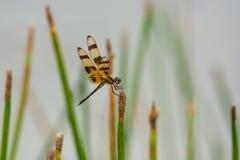 Libelle auf Sumpfschilf stockfotos