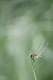 Libelle auf Tipp des Grases Stockbild
