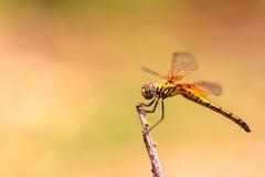 Libelle auf Treetops Lizenzfreie Stockbilder