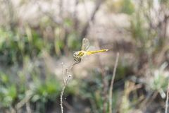 Libelle auf Zweig Stockfoto