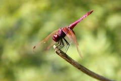 Libelle auf Zweig Lizenzfreie Stockfotografie