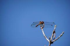 Libelle auf Zweig Lizenzfreies Stockfoto