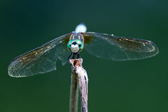 Libelle-Blau Dasher Lizenzfreies Stockfoto