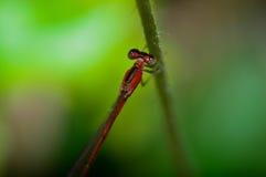 Libelle in der grünen Frische Stockfotografie