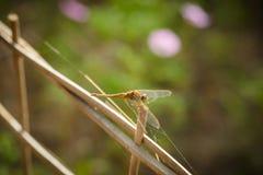 Libelle in der Natur Lizenzfreies Stockbild