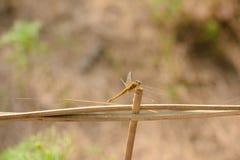 Libelle in der Natur Stockfoto