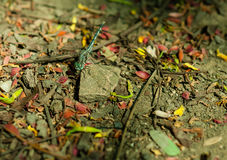 Libelle in der Natur auf Felsen Stockfotografie