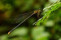 Libelle, die auf Blatt sitzt stockbilder