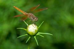 Libelle, die auf Blumennahaufnahme sitzt Stockfotografie
