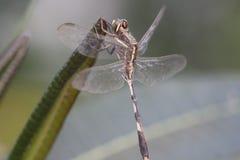 Libelle, die auf dem Blatt stillsteht Stockfotografie