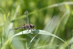 Libelle, die auf dem Stiel des Grases sitzt stockbilder