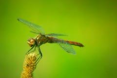 Libelle, die auf der Anlage sitzt Stockfoto